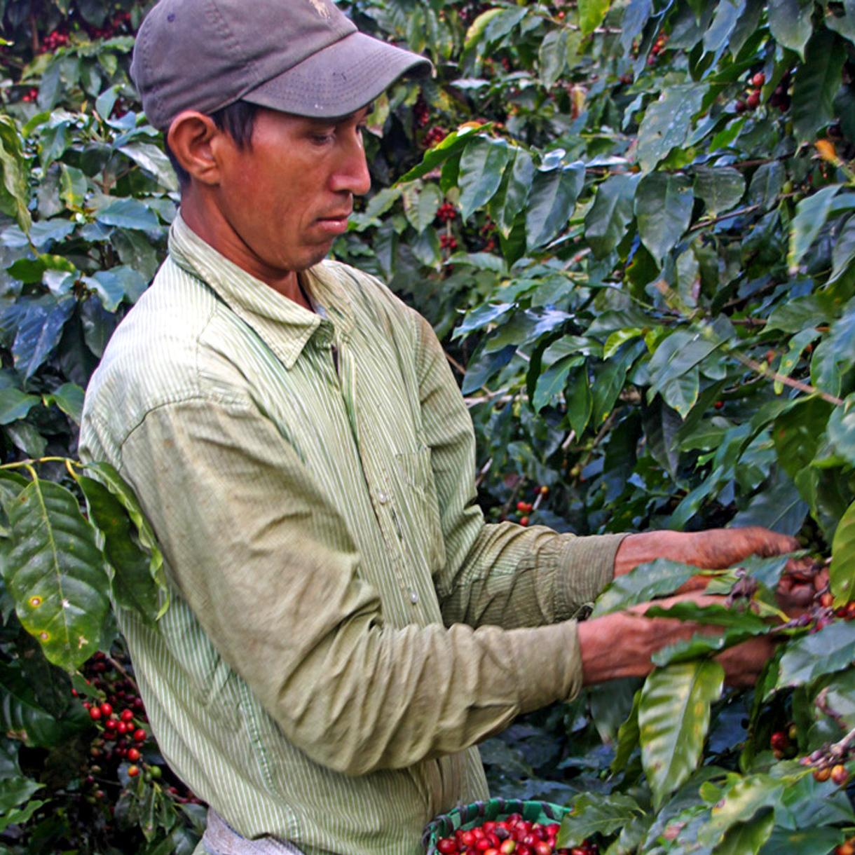 harvesting honduran coffee for southern pecan coffee beans