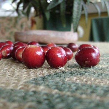 freshly picked coffee cherries