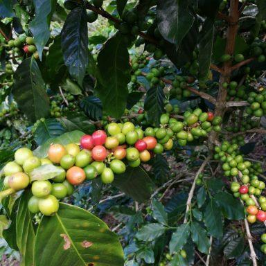 coffee farmers in honduras