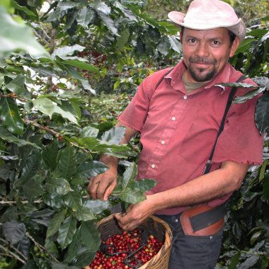 coffee farm worker picking coffee for javataza coffee