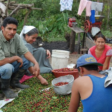 sorting coffee cherries for javataza coffee