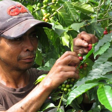 Don Tino picking coffee