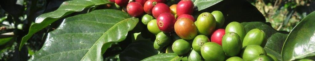 Ripening coffee