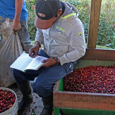 5 measuring picked coffee 2019 coffee harvest in honduras
