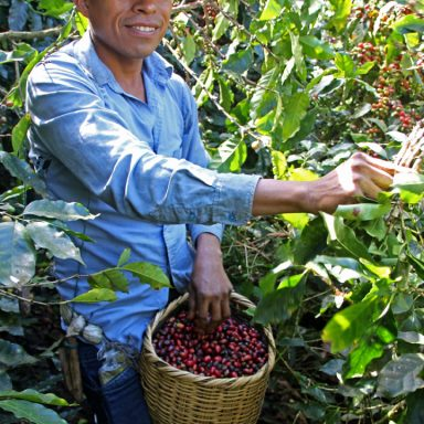 1 coffee picker 2019 coffee harvest in honduras