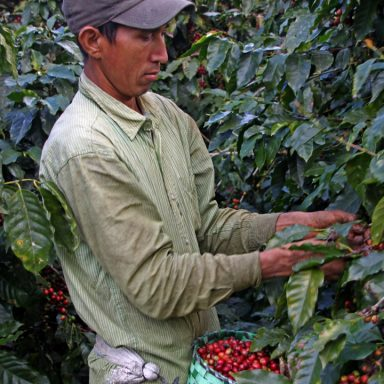 2 coffee picker 2019 coffee harvest in honduras