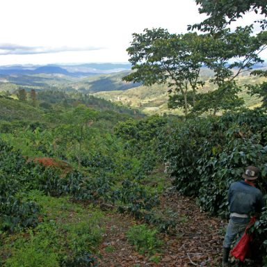 3 panorama of coffee farm 2019 coffee harvest in honduras