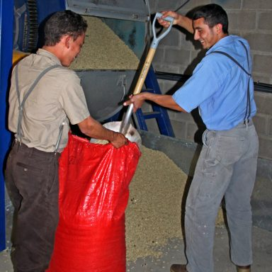 13 filling sacks with dry coffee 2019 coffee harvest in honduras