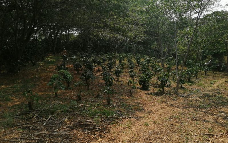 Coffee bushes that were pruned this past year