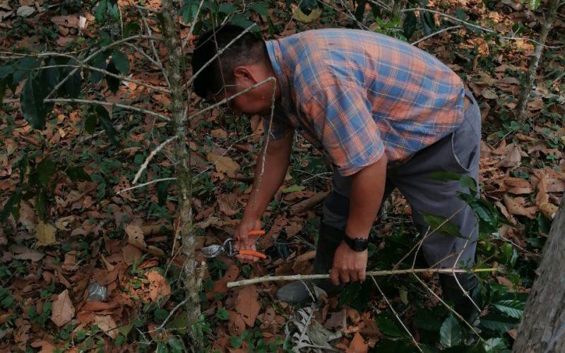 Gaspar pruned a big coffee bush