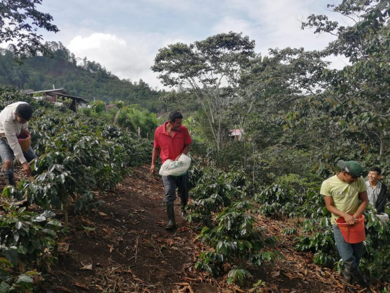 honduras central america coffee planters in field