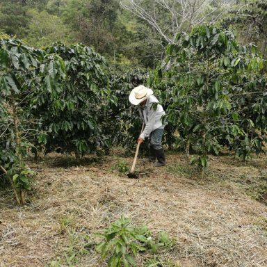 honduras coffee farmers harvest update