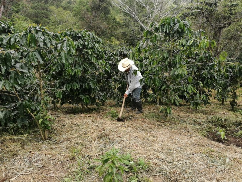 honduras coffee farmers harvest update