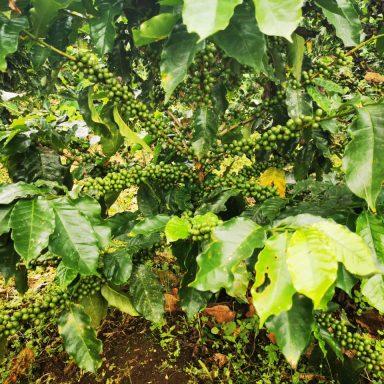 honduras coffee farming august 2020