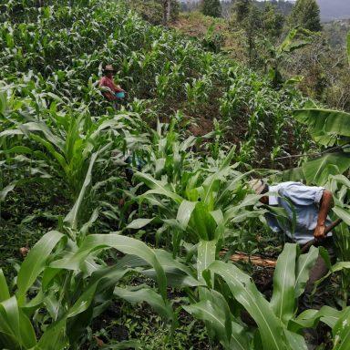 honduras coffee growers august 2020