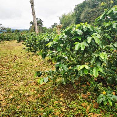 honduras coffee plant august 2020