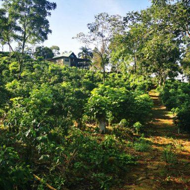 hondurasa coffee farm august 2020