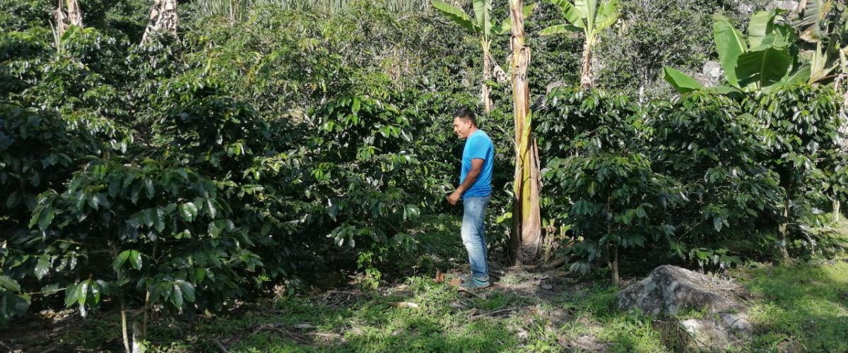 hector checks out his honduras coffee crop
