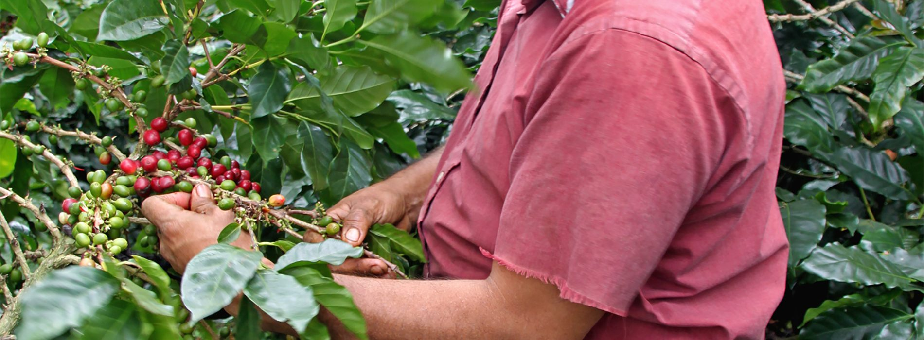 picking ripe coffee cherries for javataza coffee company