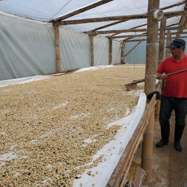 drying green columbian coffee