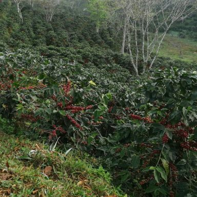 coffee beans ready to pick farm to cup coffee