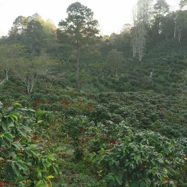 coffee picking honduras direct trade