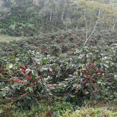 Direct trade honduras coffee ripe berries