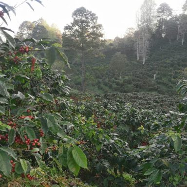 ripe honduras coffee berries direct trade
