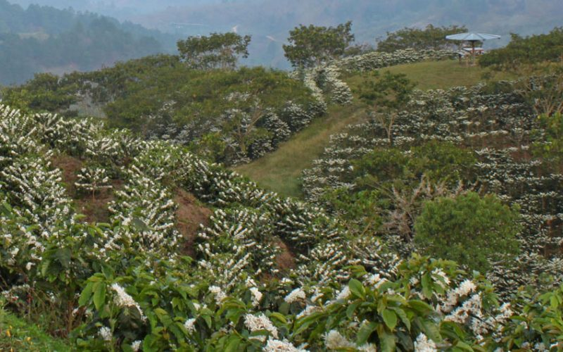honduras coffee fields in bloom