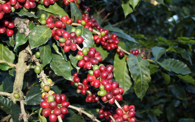 ripe honduras coffee beans