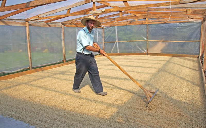 joel in greenhouse drying honduras coffee for sale