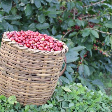 picking basket full of ripe coffee berries