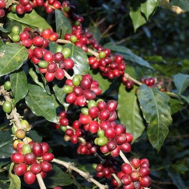 ripe coffee berries on coffee from honduras