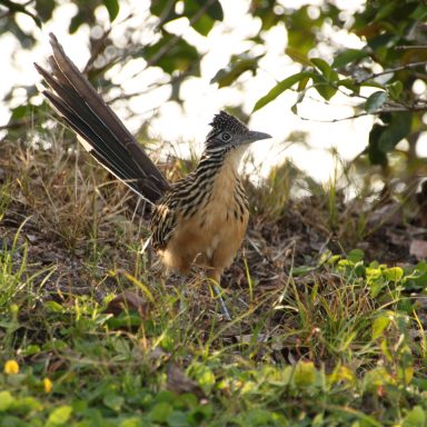 roadrunner among coffee bushes