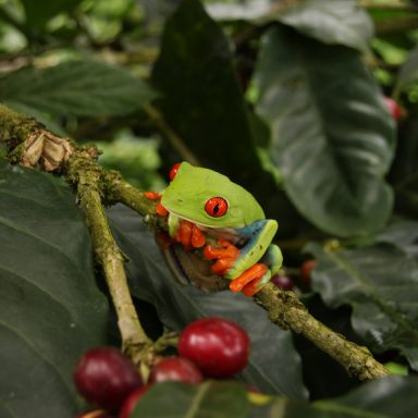 tree frog hanging out on coffee bush in honduras