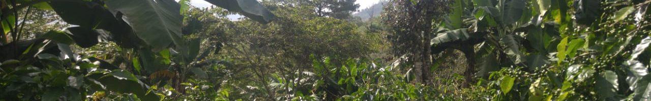 coffee from honduras don lencho coffee farms