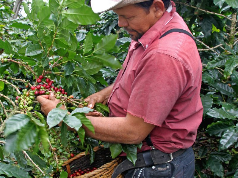 direct trade coffee from honduras highland coop