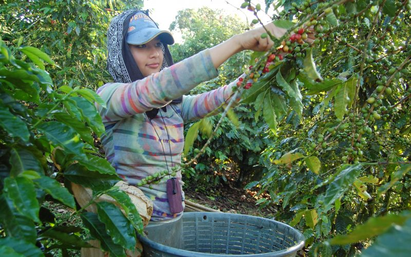4 farm to cup coffee picker